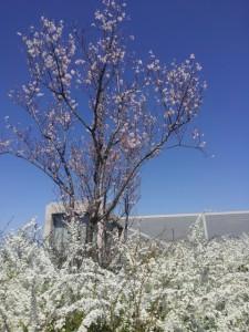 北堤下段、博物館のコシノヒガンは3部咲きぐらい。