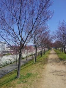 北堤はちらほら咲き。まだ少し肌寒いので、お花見の人も少なめです。