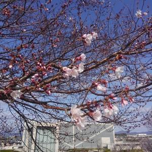 3月24日北堤の桜